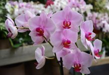 concime per orchidee