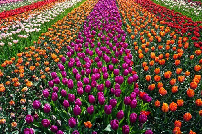 mercato del giardinaggio olandese