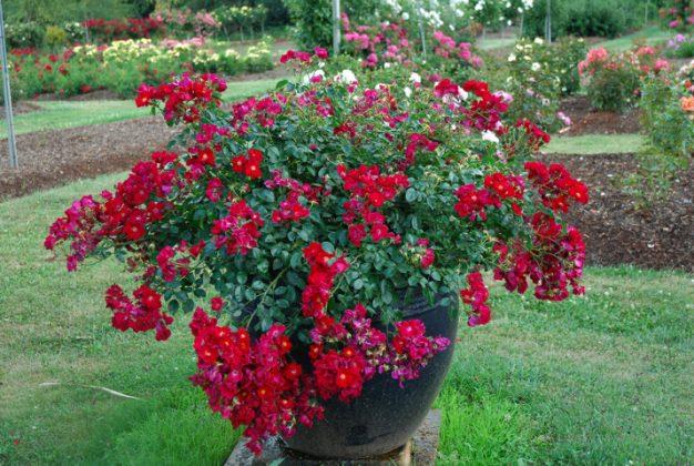 rose coprisuolo Flower Carpet