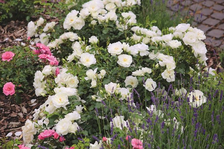 rose tappezzanti di Noack Rosen
